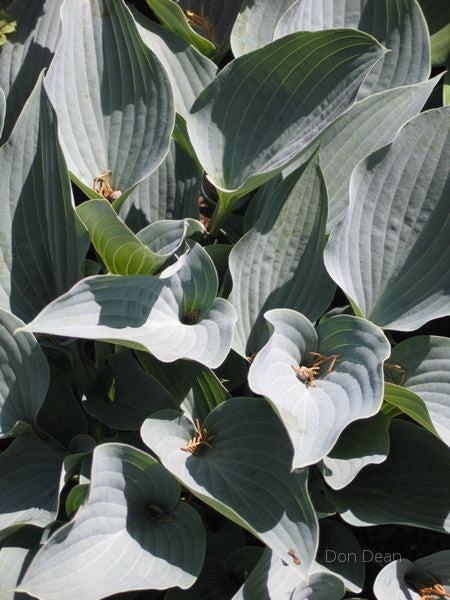 Hosta 'Purple Verticulated Elf'