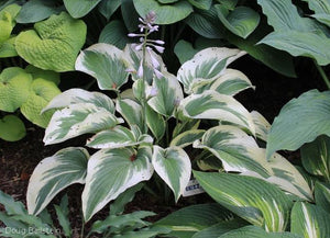 Hosta 'Reid All About It'