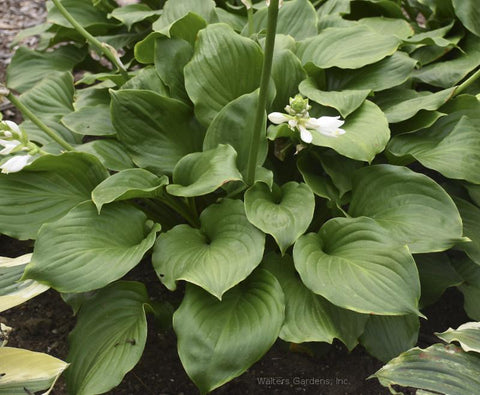 Hosta 'Royal Crest'