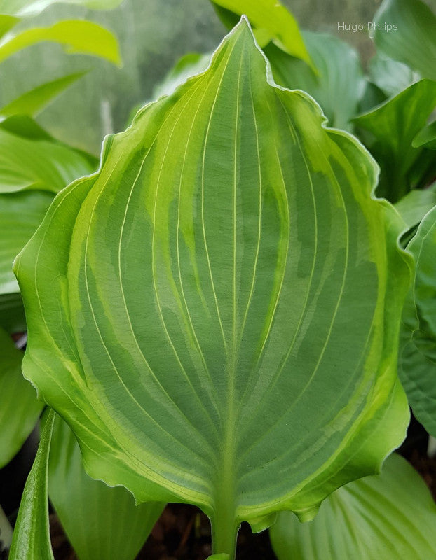 Hosta 'Sharon Stone'
