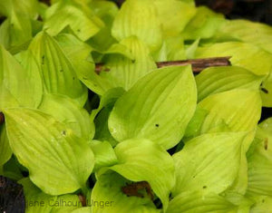 Hosta 'Shiny Penny'