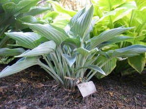 Hosta 'Silver Tongued Devil'