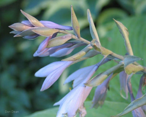 Hosta 'Soul Shine' flowers