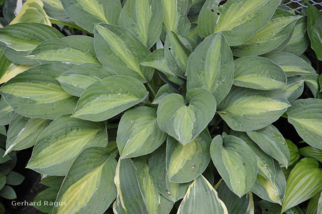 Hosta 'Striptease'