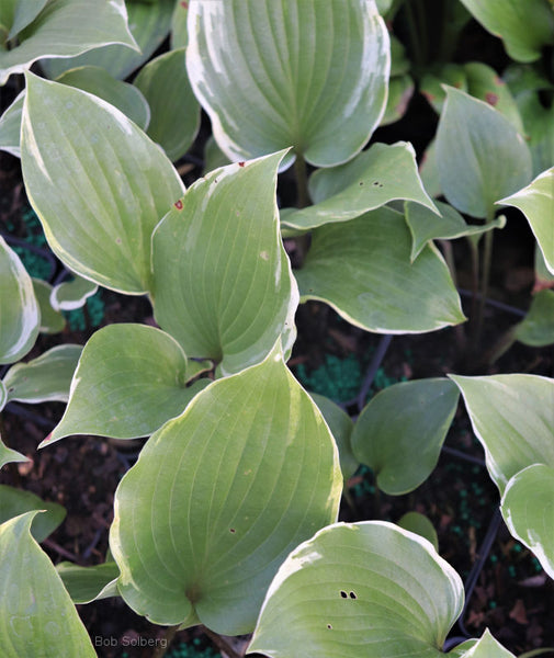 Hosta 'Sugar Cookie'