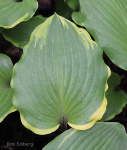 Hosta 'Sugar Cookie' leaf