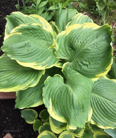 Hosta 'Summer Rainbow'