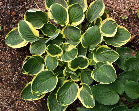 Hosta 'Tea and Crumpets'