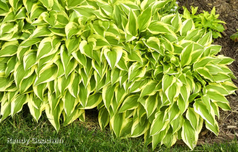 Hosta 'The Ambassador'