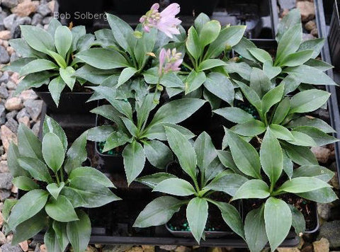 Hosta 'Tiny Gems'
