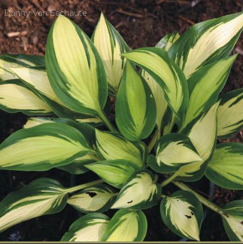 Hosta 'Tongue of Flame'