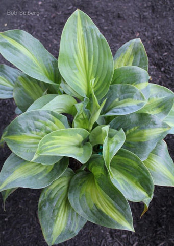 Hosta 'Twice as Nice'