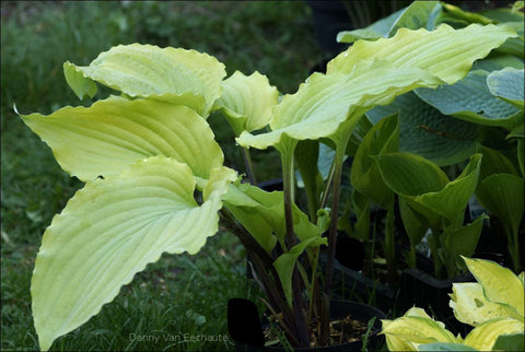 Hosta 'Valley's Lemon Limbo'