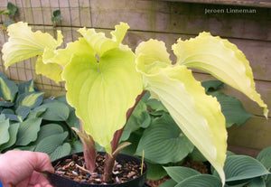 Hosta 'Valley's Lemon Squash'