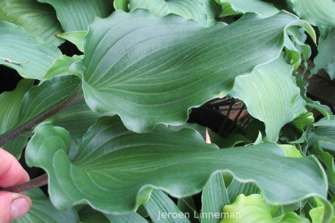 Hosta 'Valley's Rodeo'