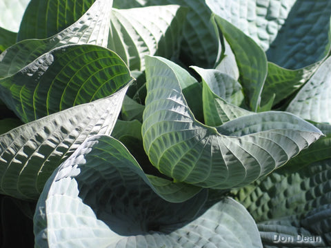 Hosta 'Wishing Well'
