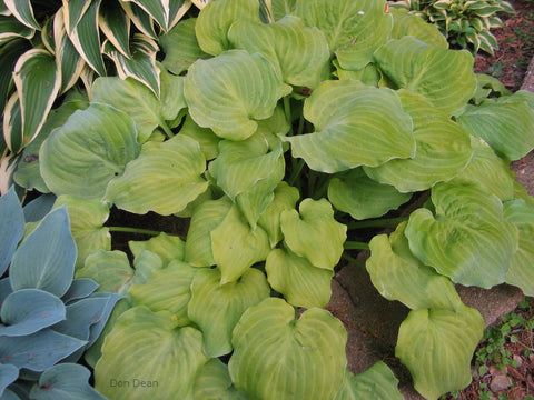 Hosta 'Wizard's Illusion'