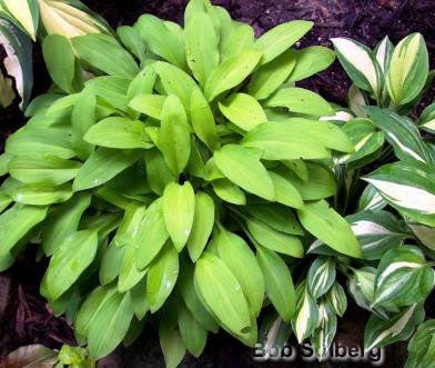Hosta 'Wonderful'
