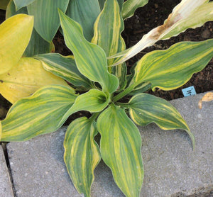Hosta 'Wonderful Life'