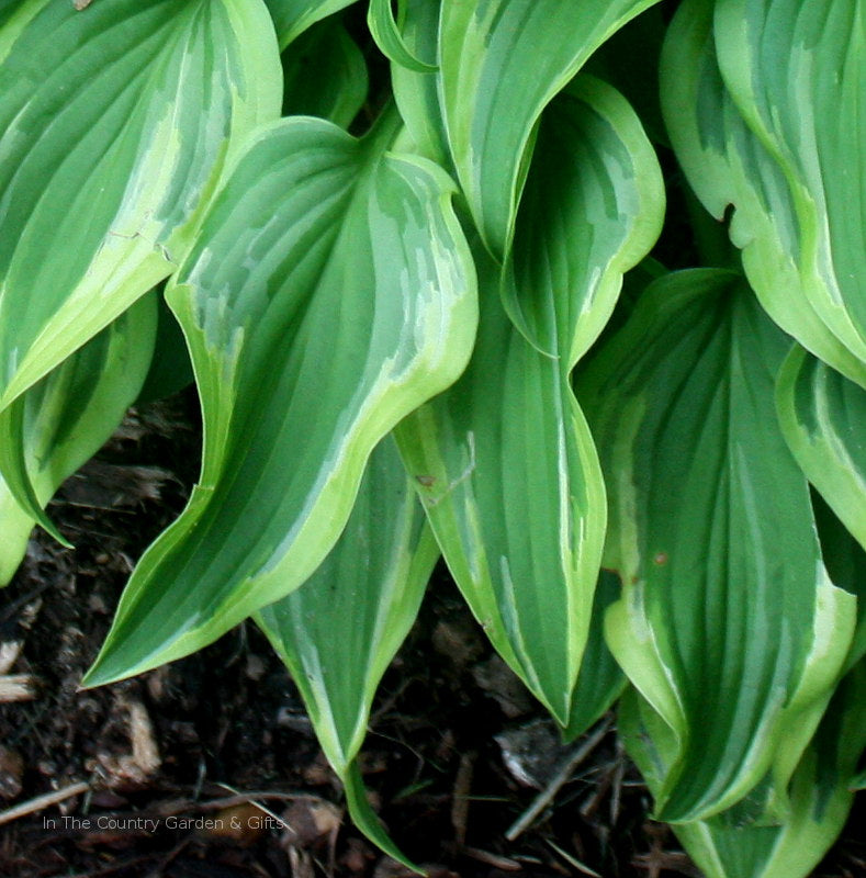 Hosta 'Wonderland' leaves