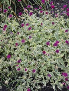 Knautia 'Thunder and Lightning'