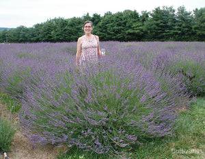 Lavandula 'Phenomenal'