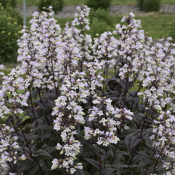 Penstemon 'Onyx and Pearls'