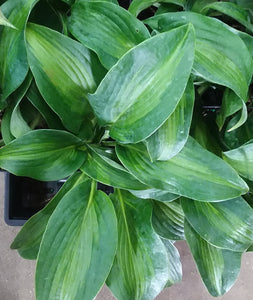 Hosta 'Pull of the Moon'