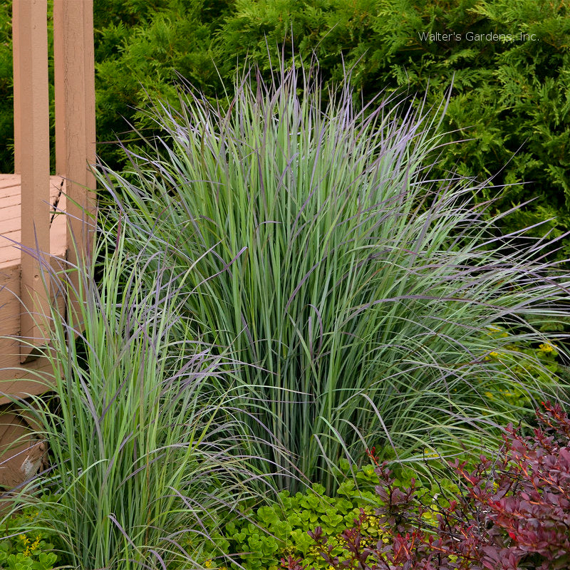 Schizachyrium 'Twilight Zone'