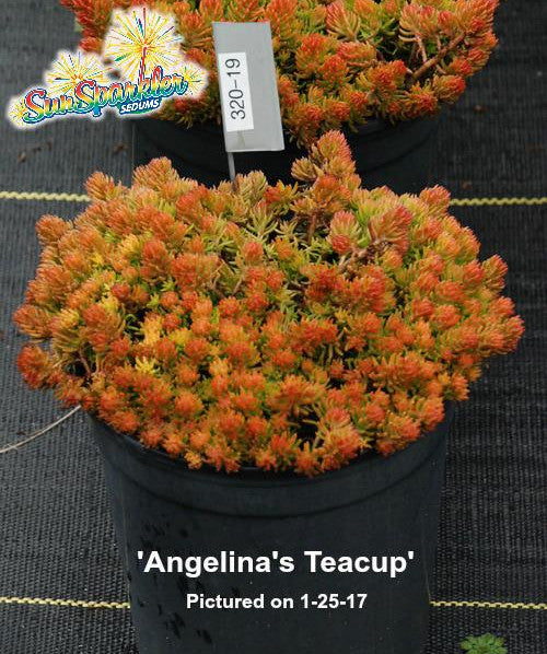 Sedum 'Angelina's Teacup'
