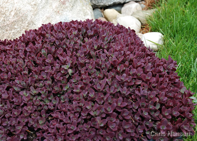 Sedum SunSparkler 'Firecracker'