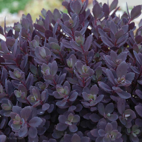 Sedum SunSparkler 'Plum Dazzled'