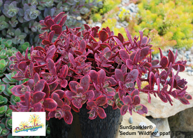 Sedum SunSparkler 'Wildfire'