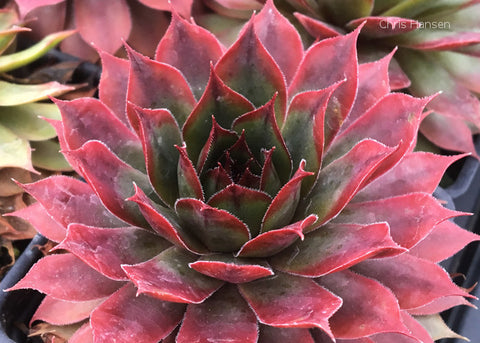 Sempervivum Autumn Apple