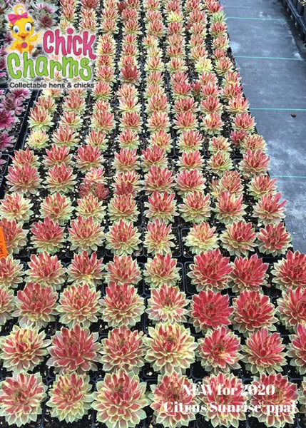 Sempervivum Chick Charms® 'Citrus Sunrise'