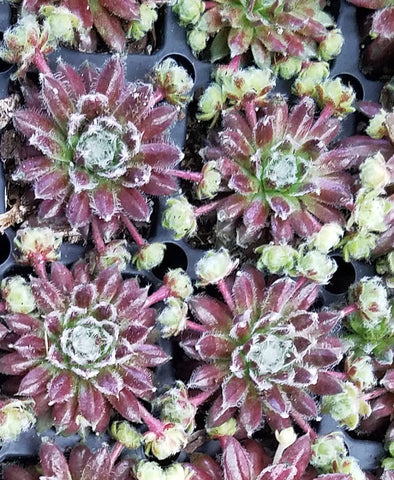 Sempervivum Cosmic Candy
