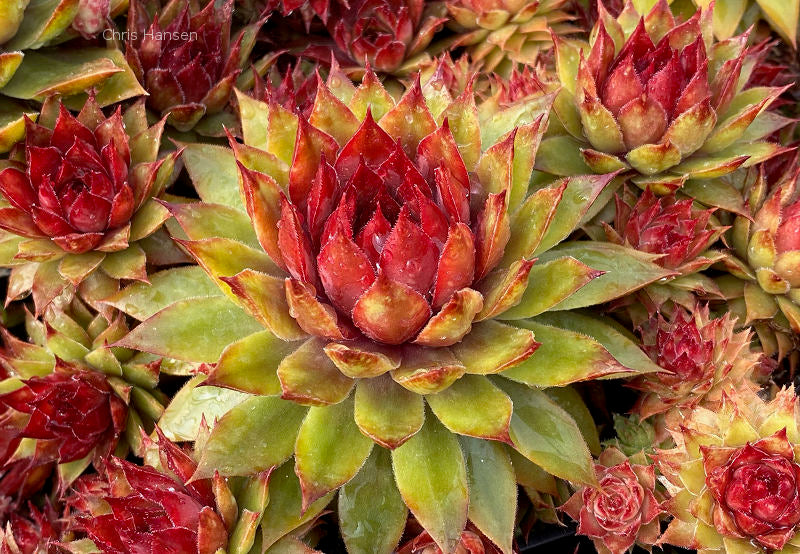 Sempervivum Pineapple Paradise