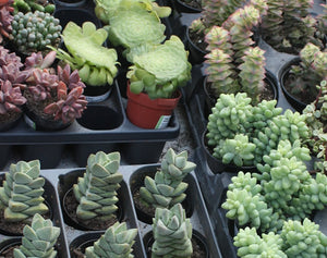 Succulent Assortment (5 plants)