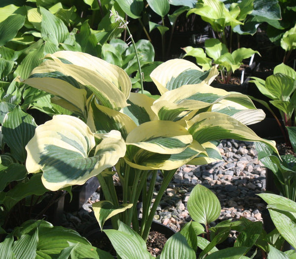 Hosta 'The Mighty Quinn'