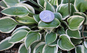 Hosta 'Woodland Elf'