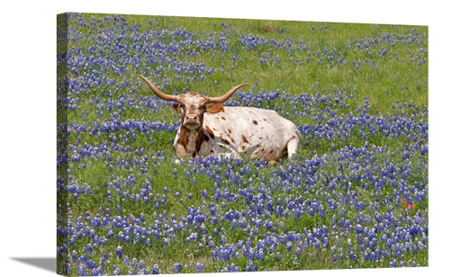Longhorn in Blue Bonnet