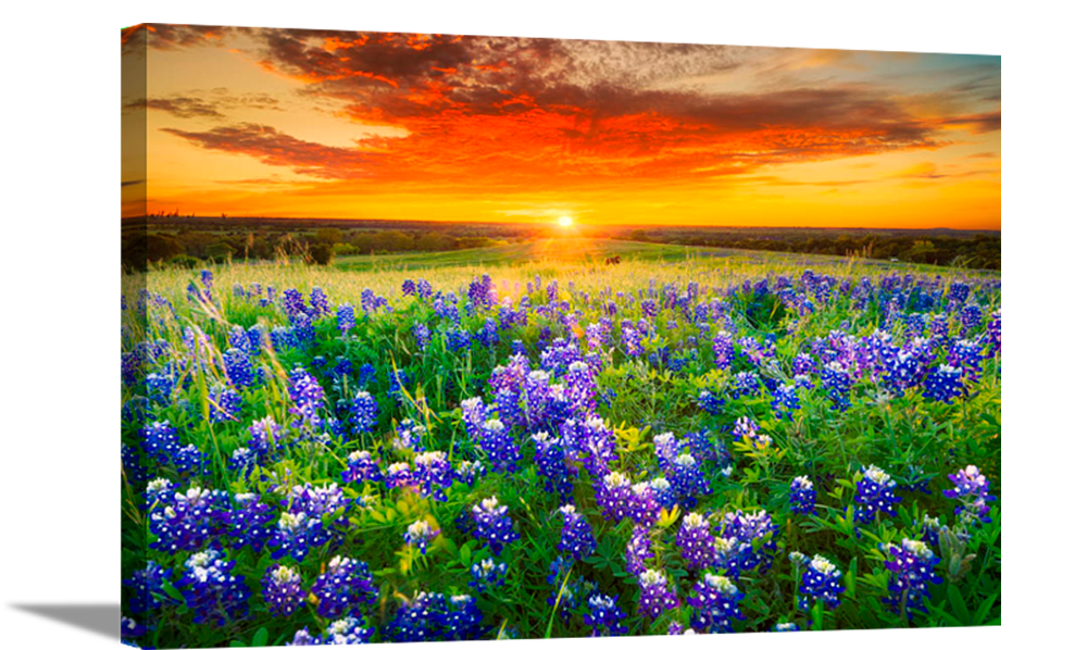 Blue Bonnet Field VII