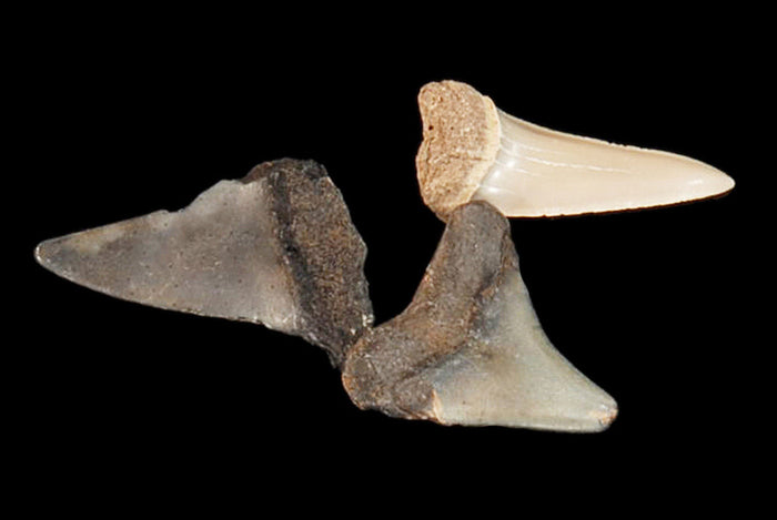 "Shark Tooth 1"" Bag of 3 Teeth Third Eye Chakra"
