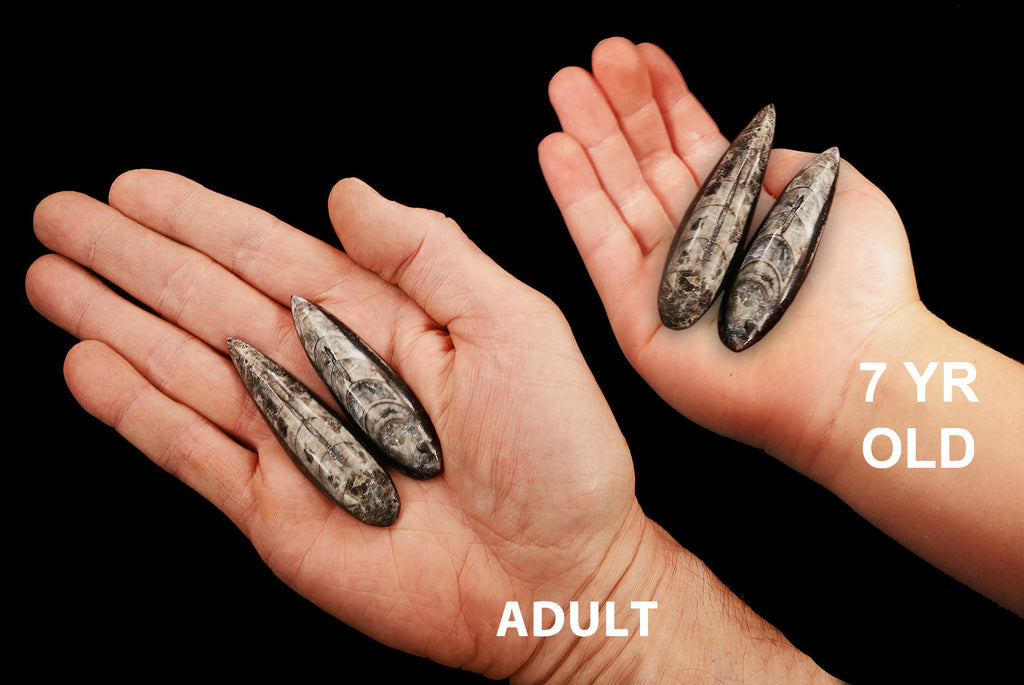 "Orthoceras Fossils 3"" Set of 2 For Jewelry Root Chakra - Kidz Rocks"