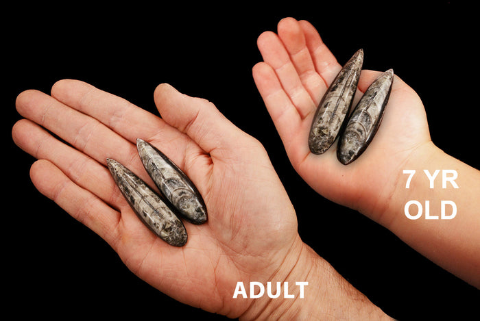 "Orthoceras Fossils 3"" Set of 2 For Jewelry Root Chakra"
