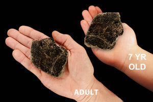 "Biotite Book Mica 3"" 4-6 Oz Root Chakra - Kidz Rocks"