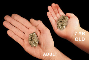 "Pyrite Crystal 1"" 2-4 Oz Third Eye Chakra - Kidz Rocks"