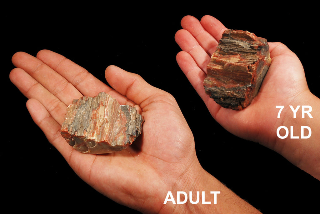 "Petrified Wood 2"" 3-6 Oz Root Chakra - Kidz Rocks"