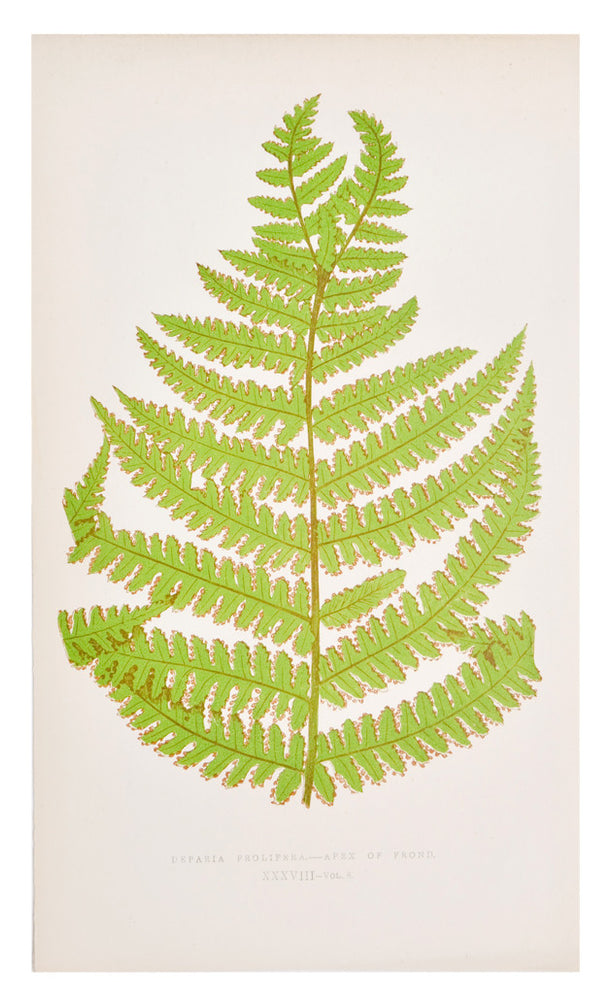 1: Deparia Prolifera Fern Print, c. 1872 in  - LEIF