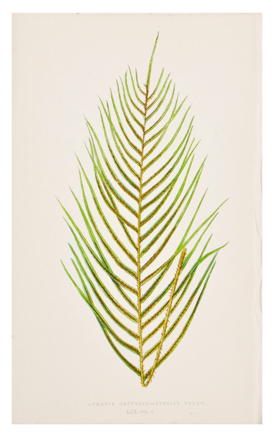 1: Lomaria Capensis Fern Print, c. 1872 in  - LEIF